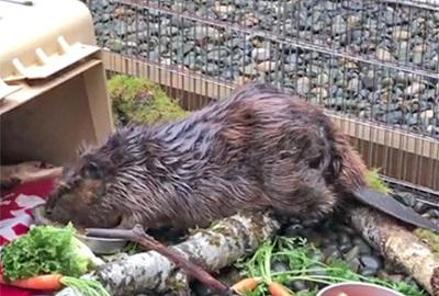 Ear: Beaver