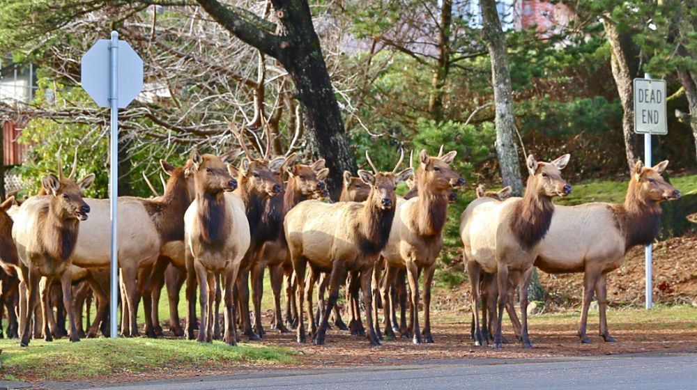 Mayor says no to hunting but supports relocating elk