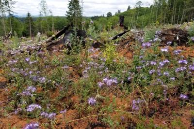 From clearcut trees to habitat for bees