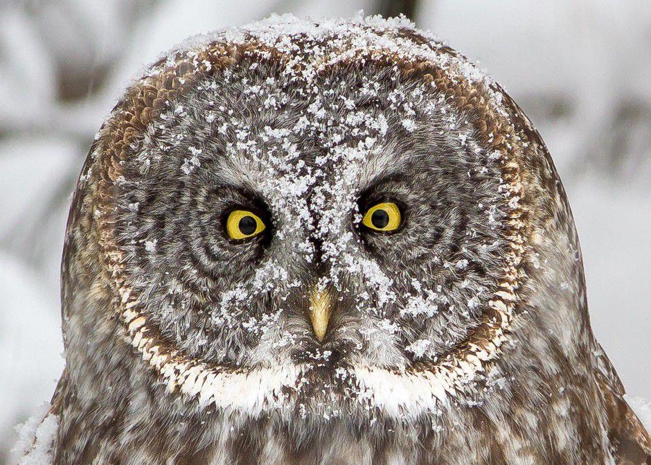 Half mystery, half magic: In search of great grey owls ...