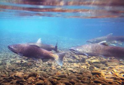 Salmon are losing their genetic diversity