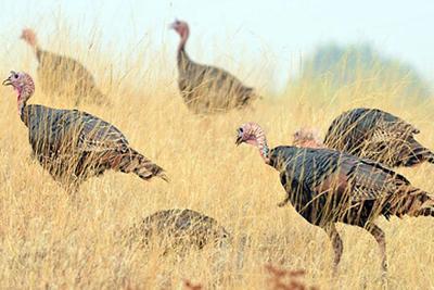 Ear: Turkeys