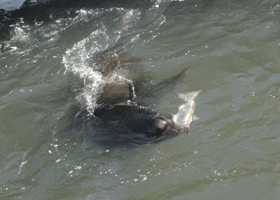 Sea lion relocation fails to protect fish at Willamette Falls
