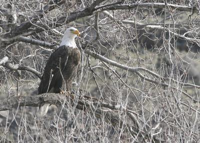 Eagle country: Ranchers blame eagles for livestock deaths in Brownsmead