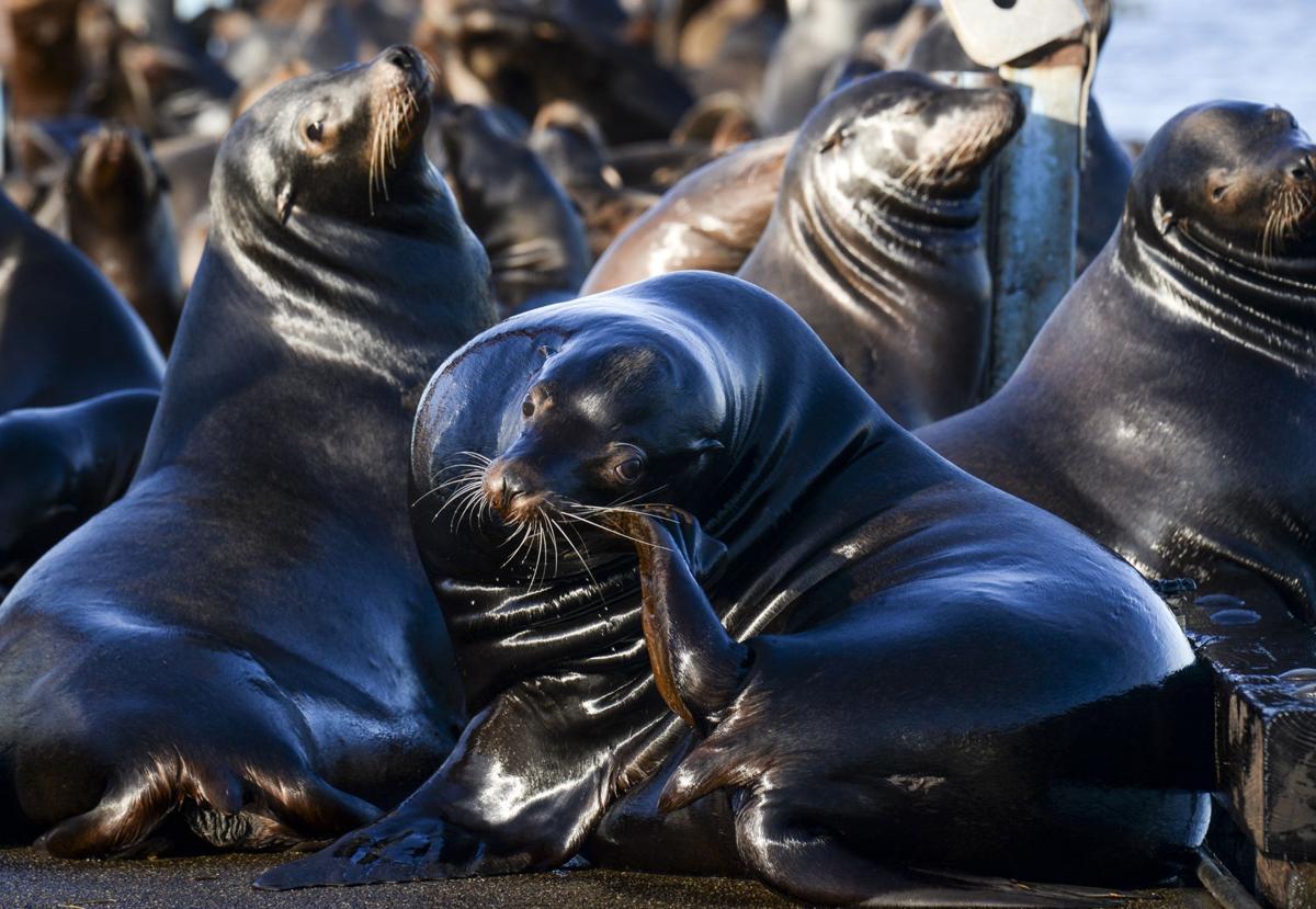 Scoreboard Sea lions 4, Port 0