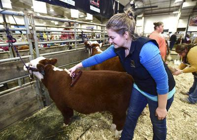 Miniature Herefords steal the show in Billings