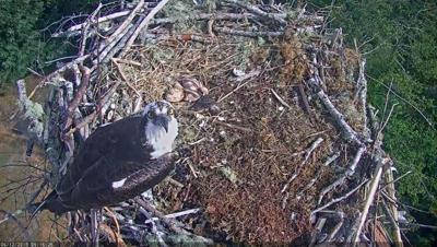 Osprey in Seaside nest
