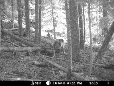 Wandering Wolf 'OR-7' Appears To Have Found A Home