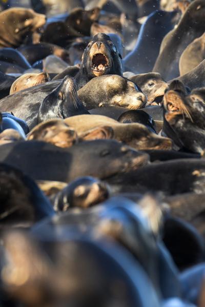 Sea lions bound back