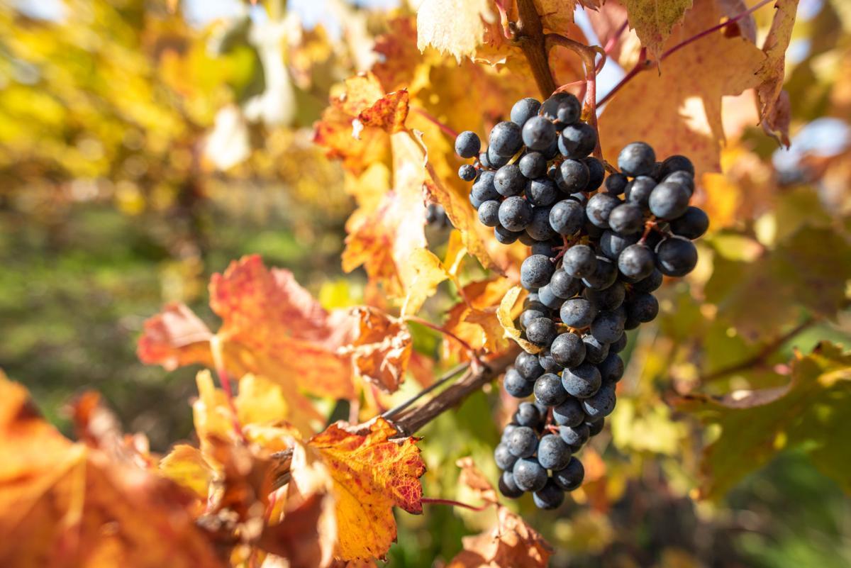 Lagrein grapes