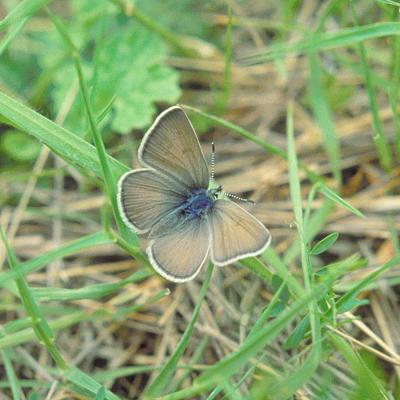 Habitat plan aims to help endangered butterfly