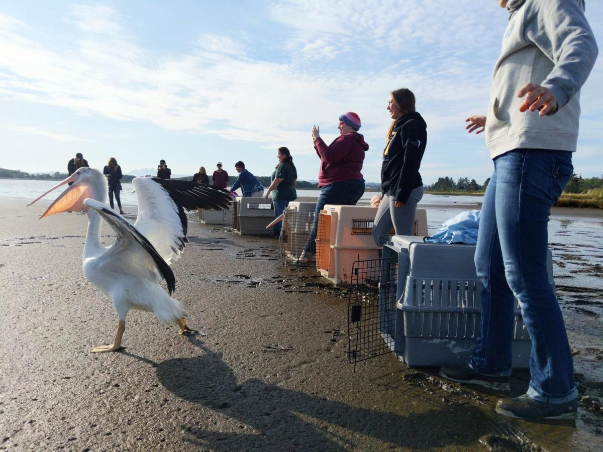 White pelicans released at Tansy Point