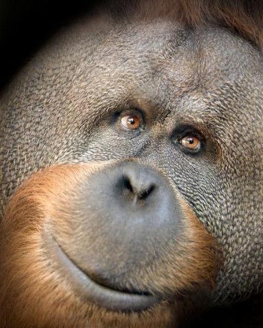Handling Of Orangutan's Death Led Metro To Fire Zoo Director, Veterinarian