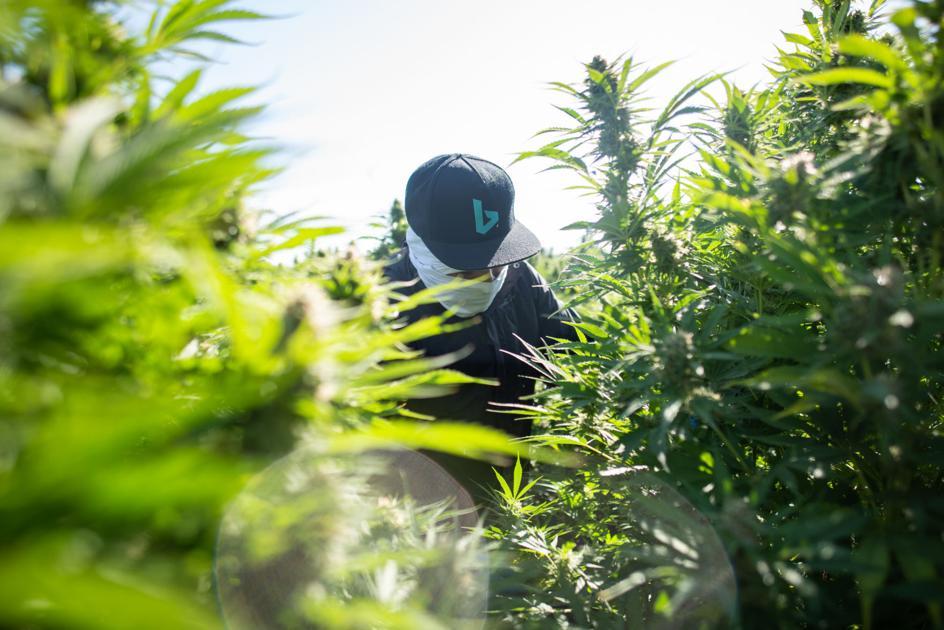 CBD industry sprouts in Clatsop County