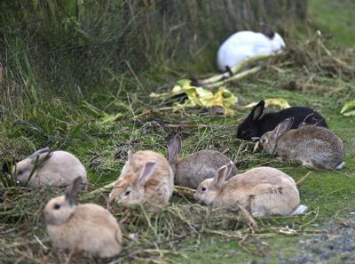 Rabbit wild