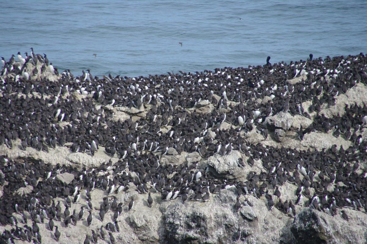 ODFW monitors seabird deaths