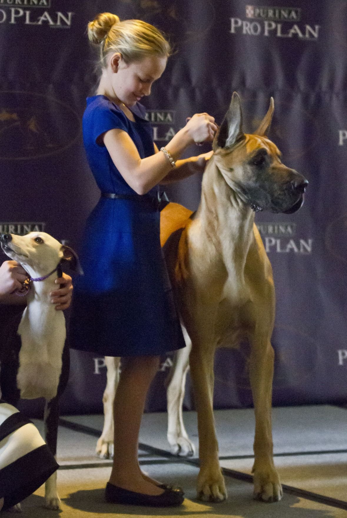 At Westminster show, 2 new breeds, bigger agility contest