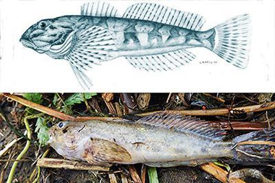 Ear: Fish