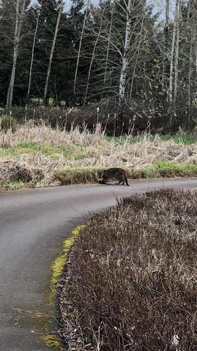 Cougar sightings on the rise