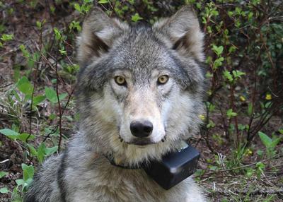 Deer and elk act as buffer between wolves, livestock