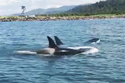 Ear: Orcas