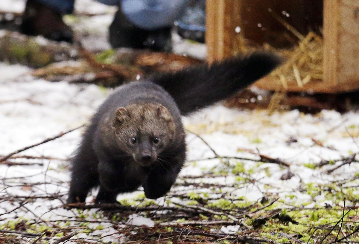 Rare weasel species makes a comeback in Washington