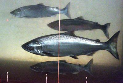 Young salmon risk
