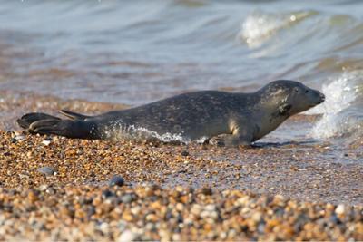 Ear: Seal