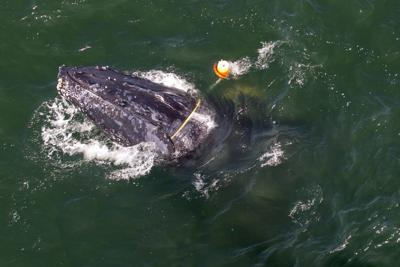 Whale entangled in fishing gear off California