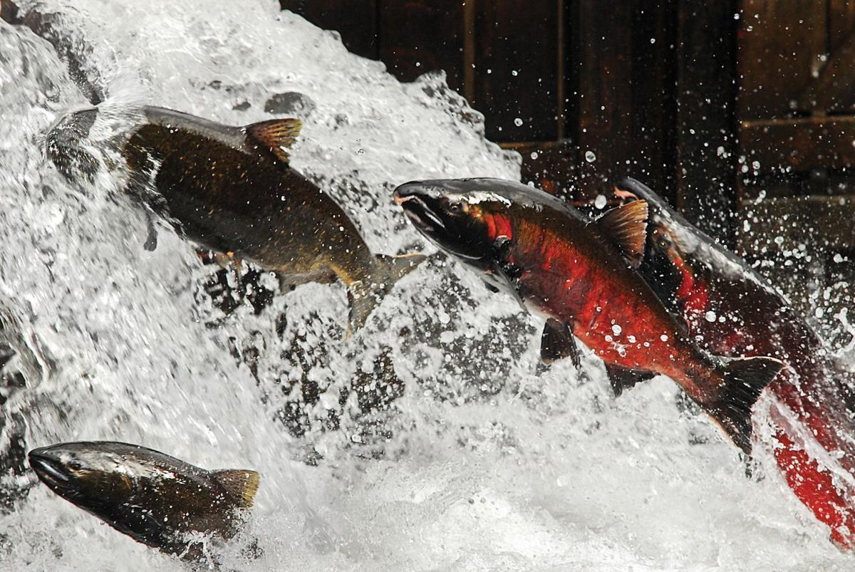 Guest column Salmon plan a mismatch