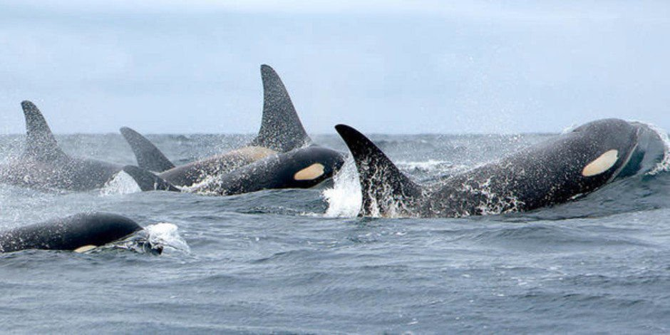 SRKW orcas