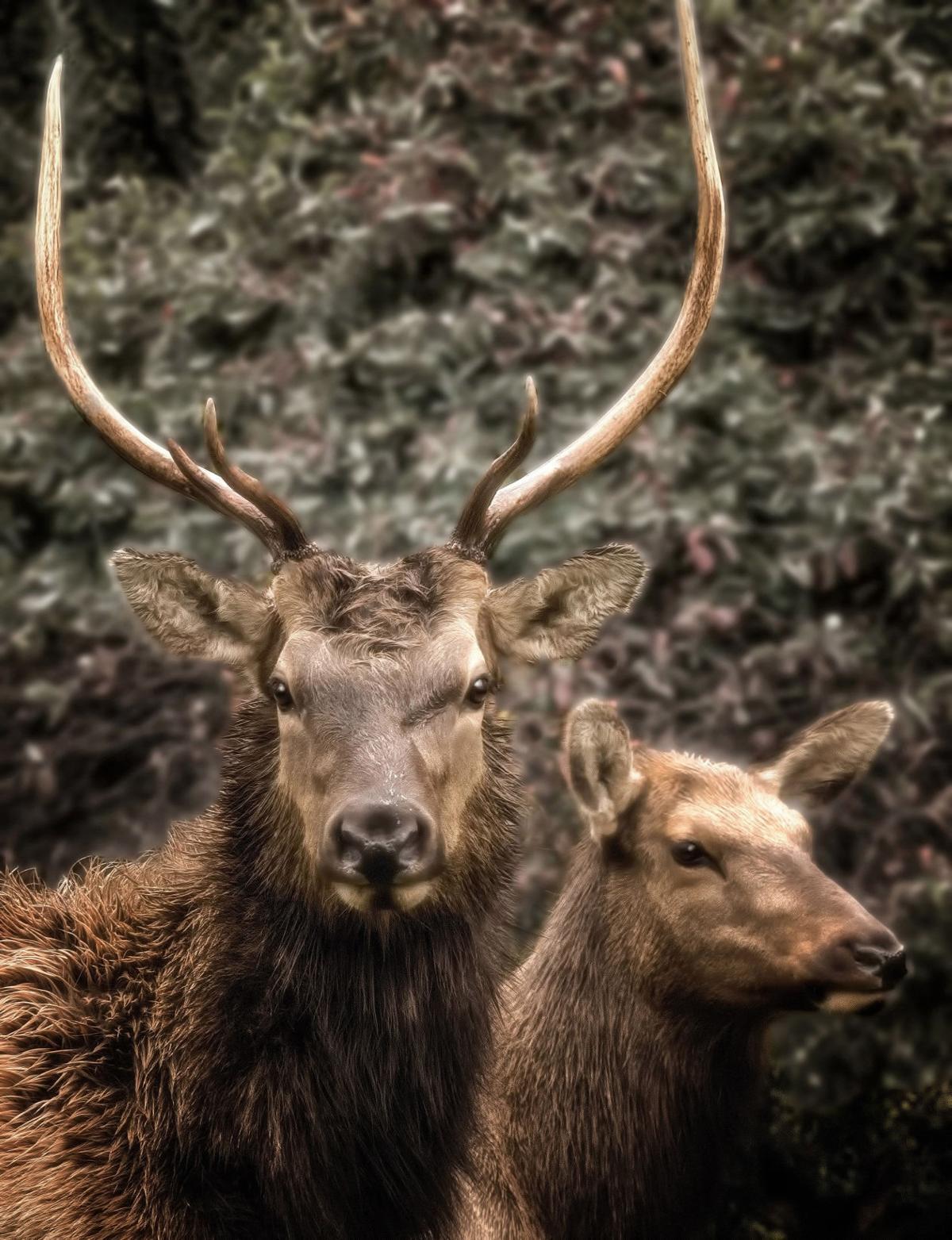 Elk culling an option for public safety