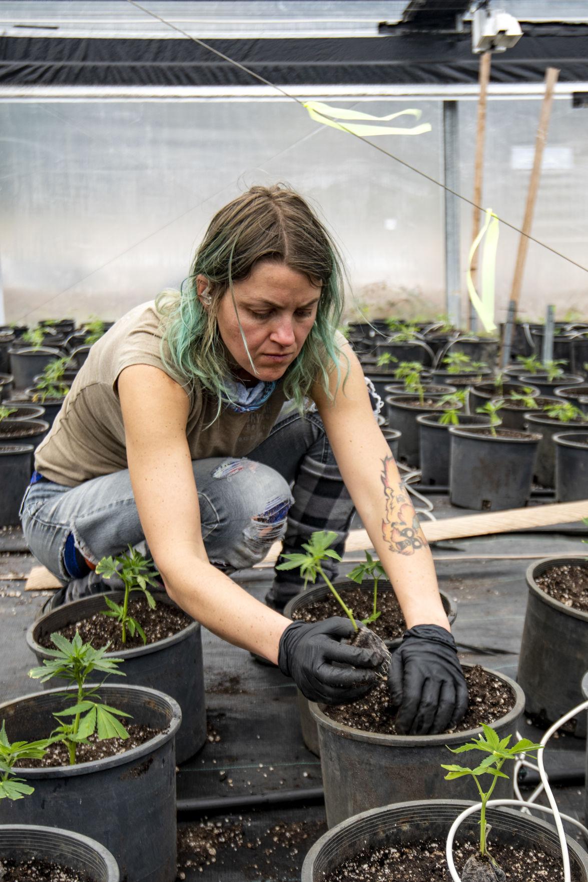 Life of a Cannabis Farmer 3