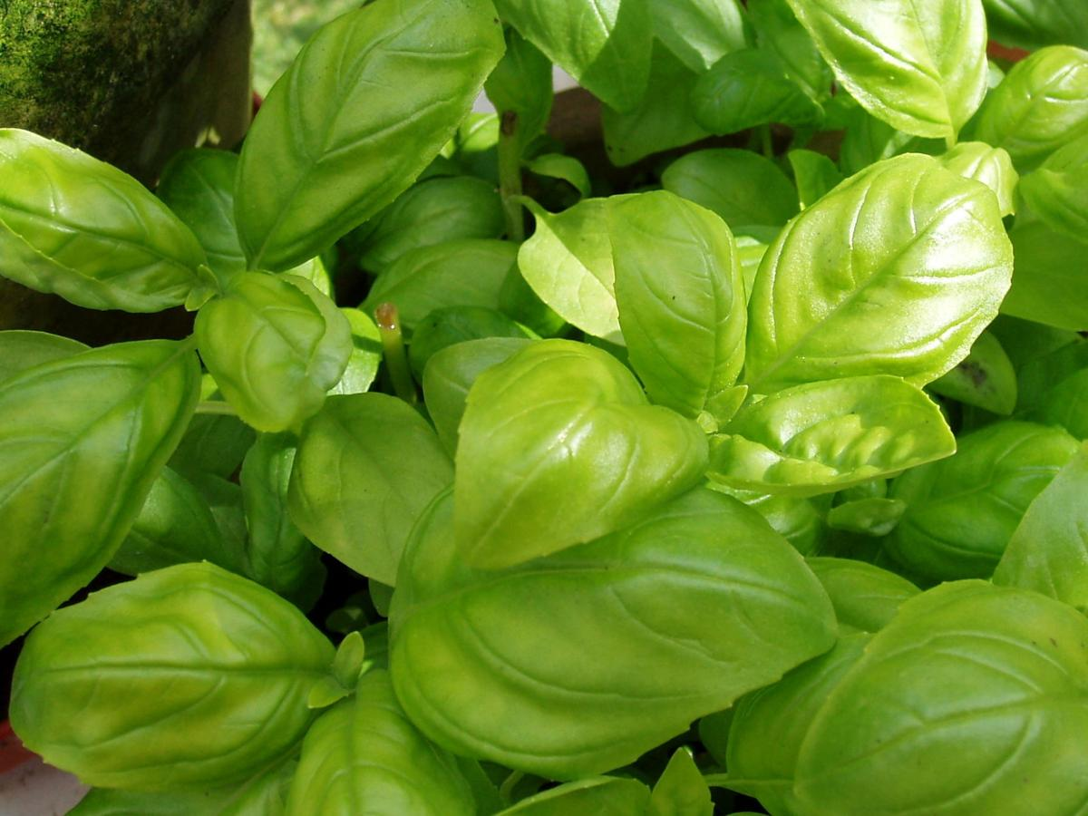 Growing herbs: good for your health and your food
