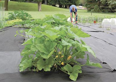 Produce ready for harvesting at MAST garden
