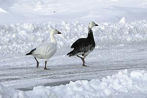 Snow geese spotted