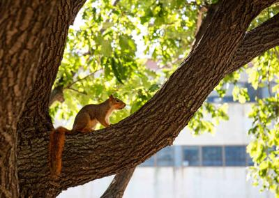 Squirrels UNL