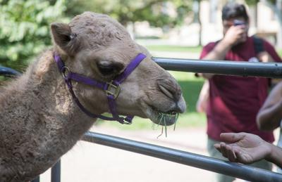 Students Get The Chance To Interact With A 1 Year Old Rescue Camel Outside The Ne Ska Union On Tuesday Sept 18 2018 In Lincoln Ne Ska