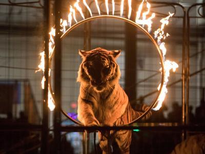 Shrine Circus Tiger