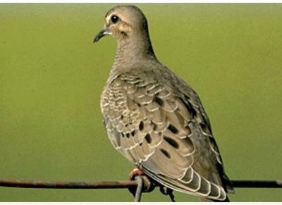 Dove Season TPWd