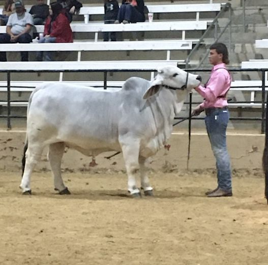 Bret Procella and his heifer Mattie won their class in ring B and qualified for the Supreme Heifer Drive.