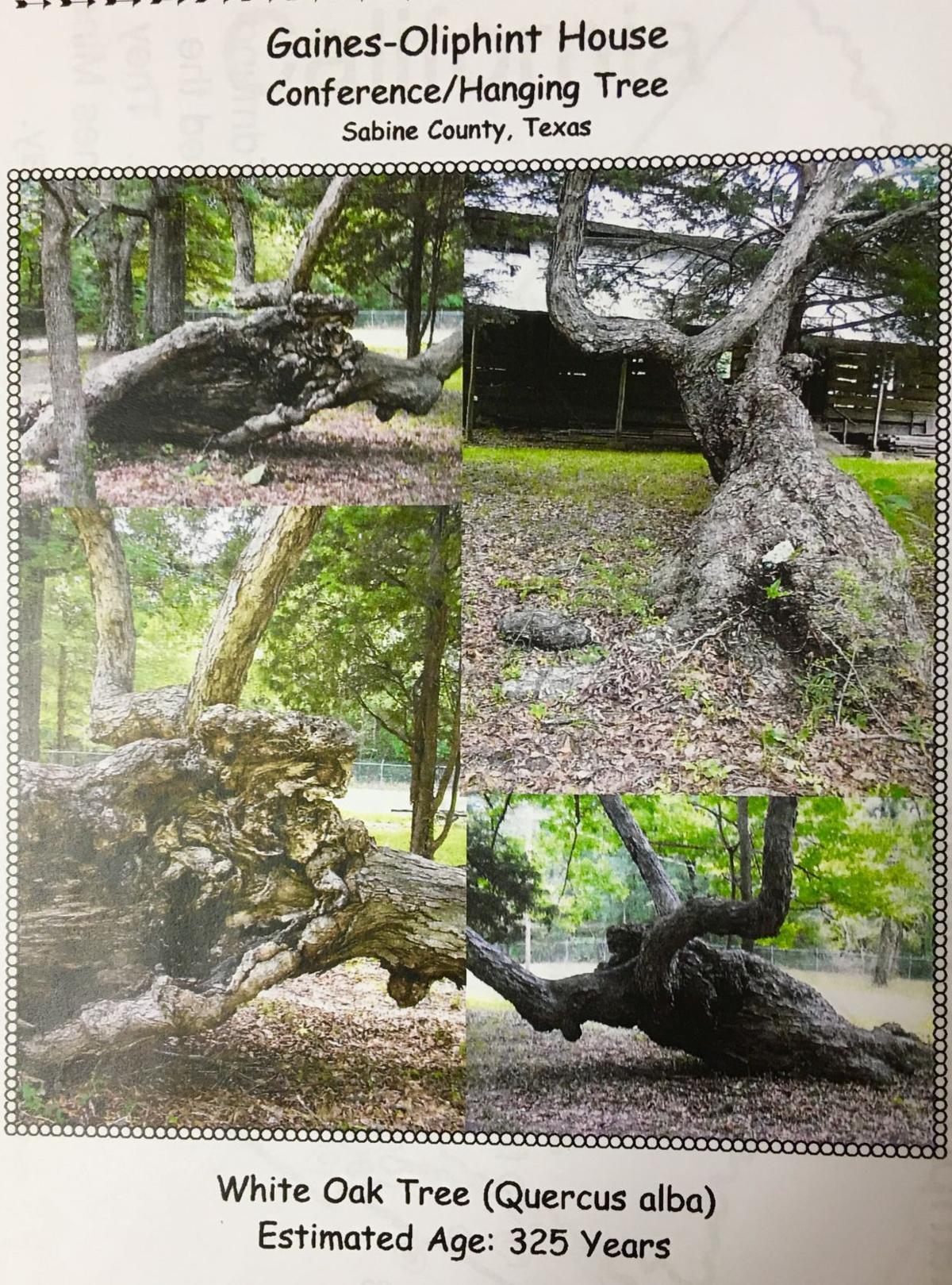 325 year old oak tree