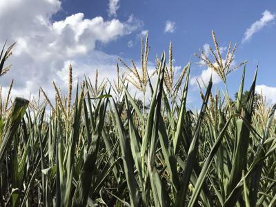 J-Somerset corn crop