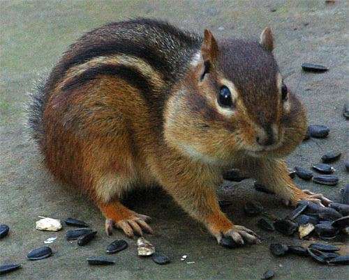 trapping chipmunks for fun and profit outdoor chuckles
