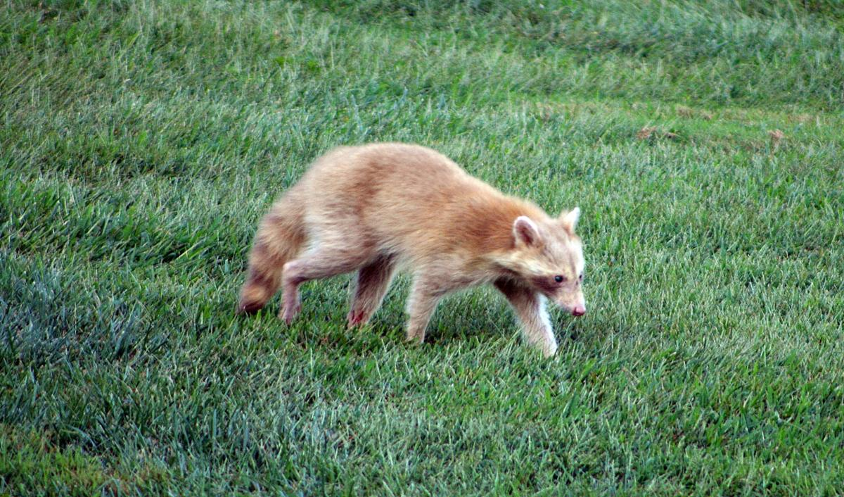 Raccoon Rarity: County man spots rare albino coon in