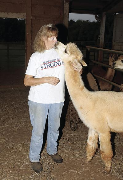 Alpacas are social creatures, especially when they get around Deborah LaMountain, owner at Alpacas of the Morning Mist in Ruckersville