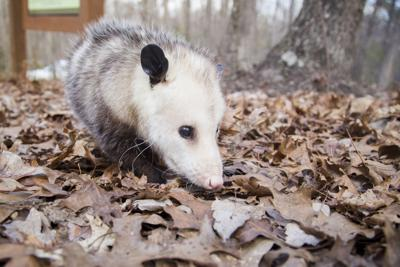 The problem with possums: Helpful animals get bad rep | News