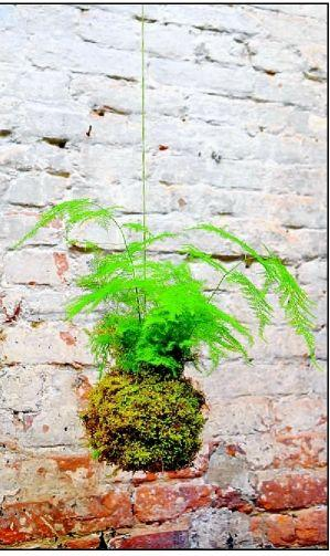 Kokedama's not a poor man's bonsai