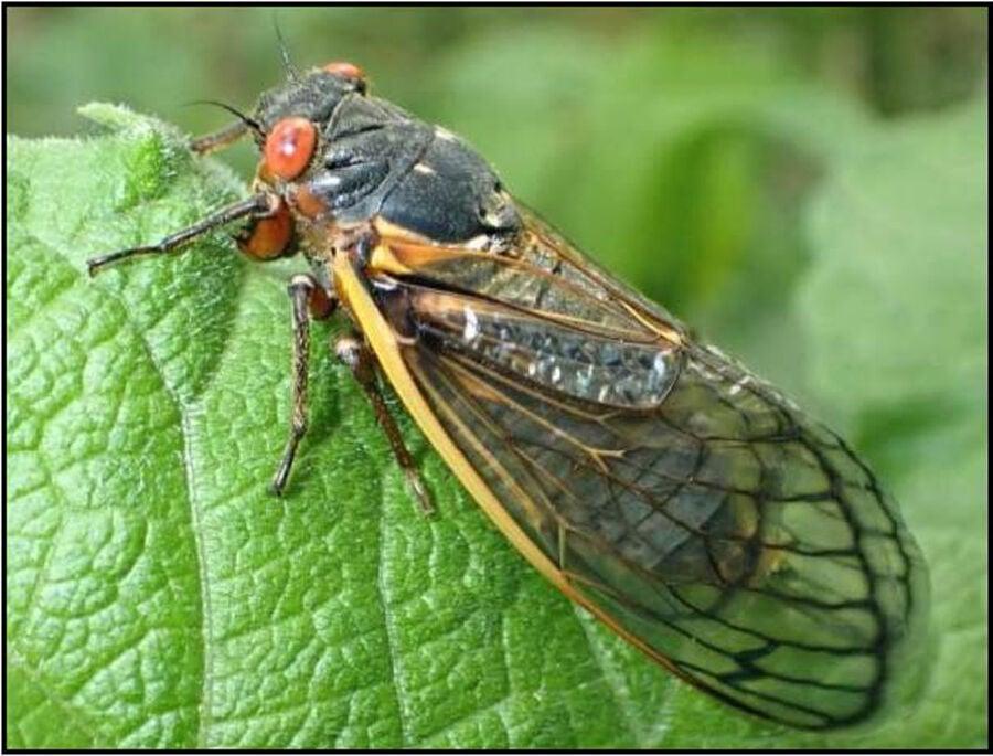 VCE_cicada