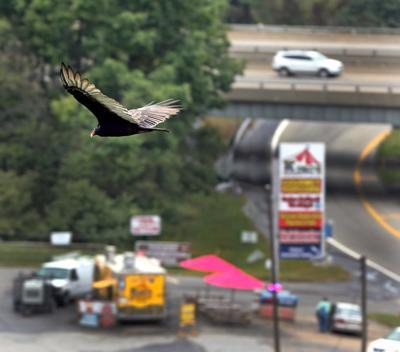 Hawks on Afton Mountain